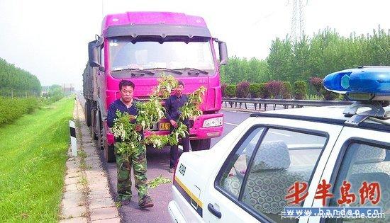 司机停车摘槐花吃被罚