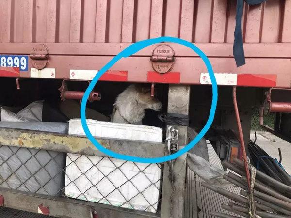"""想笑又想哭!行走的""""狗窝""""了解一下为防偷油贼货车底下养狗"""