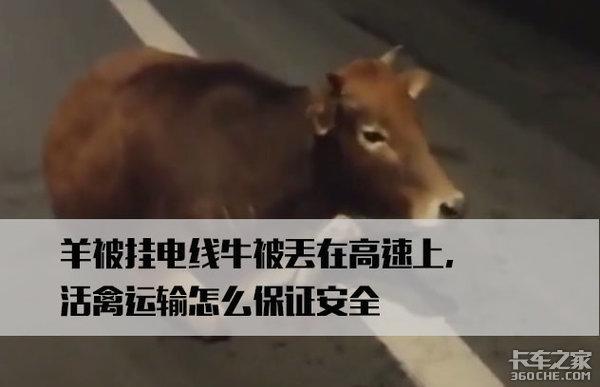 羊被挂电线,活禽运输该怎么保证安全?