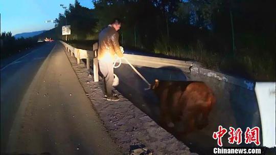 货车栏板缺损600斤重黄牛高速路上跳车