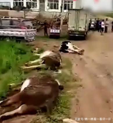 货车闯入牛群,撞死13头牛,每头牛赔8000元,主人现场卖肉