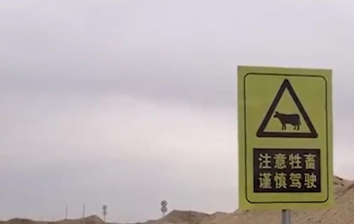 骆驼已成为阿拉善路上车辆的一个威胁
